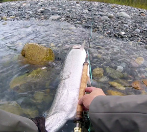 20 lb Steelhead Photo