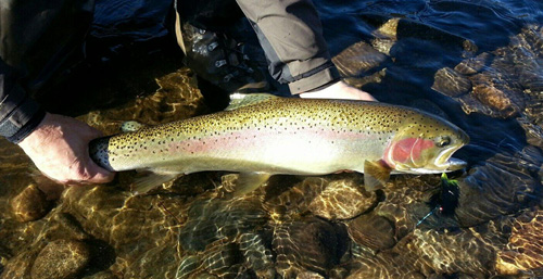 David Robinson's Steelhead caught on the Methow River using a Methow Moal Leech