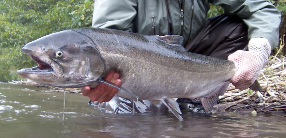 King Salmon caught by Jeff Layton