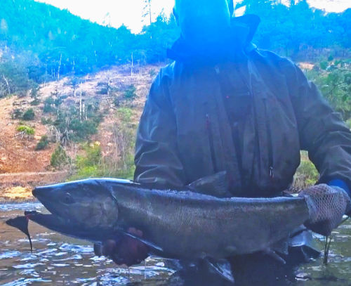 Chinook Salmon caught on this fly