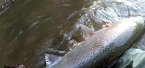 North Umpqua Steelhead on a fly